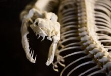 সাড়ে ছয় কোটি বছর আগে ডাইনোসর ধ্বংস হলেও টিকে ছিল সাপ